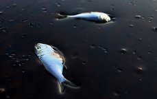 poissons_morts anti-corrida