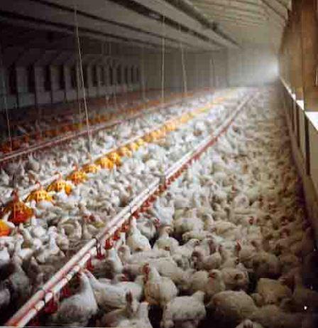 Mes conversations avec le peuple animal en souffrance dans MES EMOUVANTES CONVERSATIONS AVEC LE PEUPLE ANIMAL *** usine-poulets