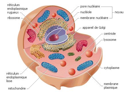 Ma conversation avec les cellules du corps humain dans BIEN-ETRE (conversation avec les cellules du corps humain, cancer, le fabuleux plexus solaire, la dépression...) dyn001_original_450_331_xpng_2533802_3226997101a8364a41b062990ec9830b
