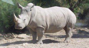 1200px-Rhinocéros_blanc_JHE