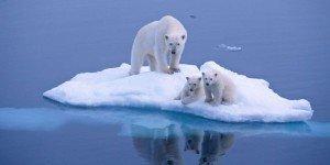 Les-ours-polaires-une-espece-menacee